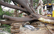 Mishap: Sadashivaiah died after a huge tree fell on him when an earth excavater was being engaged for the construction of a compound in Vijayanagar on Wednesday. dh Photo