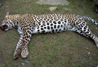 The dead leopard.