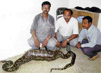 A rare 11-foot python which had gobbled up a goat at Hulikunte forest area in Gauribidnur of Chikkaballapur district, Dh Photo