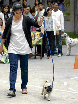 Adorable: A dog taking its master for a walk.  DH Photos by Vasu M N