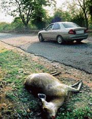 Vehicular movement leads to killing of rare and endangered animals. File photo