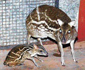 The mouse deer with its fawn in Mangalore. DH Photo
