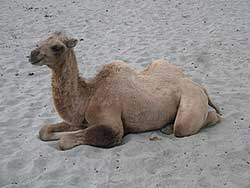 Double-humped Bactrian camel