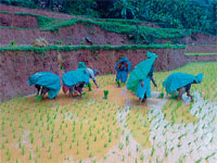How Long?: Women engaging in planting paddy sapling amidst rains. DH photo