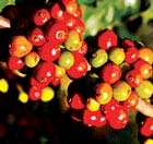 Coffee exports decline 33% in Jan-Aug 2009
