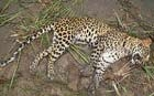 Leopard beaten to death