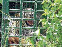 The trapped leopard at Jodi Neralakere village in Nagamangala taluk. DH PHOTO