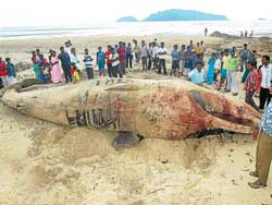 A large crowd gathered to watch the dead whale near Devbagh shore in Karwar on Friday. DH PHOTO