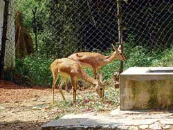 The chinkaras which have been brought to the Bannerghatta Biological Park from the Bhiwani National Park , Haryana.DH Photo