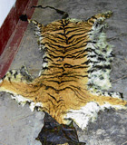 In custody: Tiger pelt  seized by officials  from notorious poacher Papaiah (Inset). DH Photo