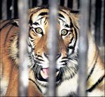 The man-eater diagnosed with cancer at the Lucknow Zoo on Wednesday. PTI