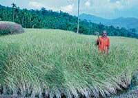 100 acres of paddy fields damaged in unseasonal rain
