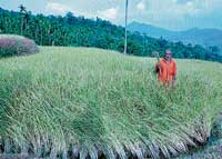 A farmer standing amidst withering paddy crops in Kalasa hobli. DH photo