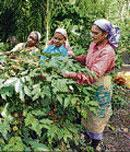 Centre to provide training to State coffee growers
