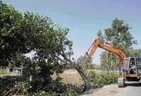 Gulbarga road raze kills many peepul trees