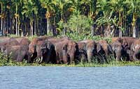 Trespass: A herd of elephants spotted at Hebbal lake near Heggada Devana Kote on Sunday. kpn