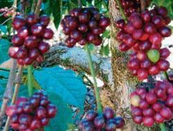 Bumper price for Arabica coffee beans in market