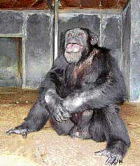 Chimpanzee Vali in his enclosure in the Mysore zoo. DH photo