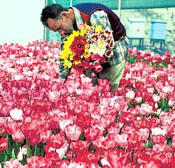 A labourer plucks tulips from a garden in Srinagar in Jammu and Kashmir as the mercury soars. PTI