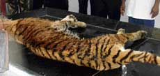 The body of the tigress, Vijaya. dh photo