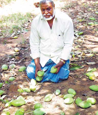 A mango farmer surveys the loss in his farm due to rain and hailstorm. DH PHOTO