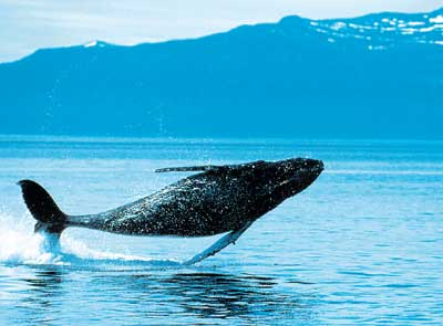 Huge impact: Whales are not just charismatic, but also play an important role in the carbon cycle.