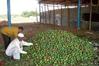 her majesty arrives First batch of mangoes that have arrived at one of the stalls at  Srinivaspur APMC. DH photo