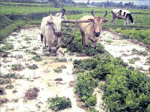 Horsegram planted in a field at Keelaholali in Mulbagal Taluk being ploughed into the soil as green manure. DH Photo