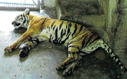 One of the dead tigers at Bannerghatta National Park. dh photo
