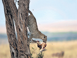 Prized catch:  Babi Nobis' s 'Leopard with Kill.'