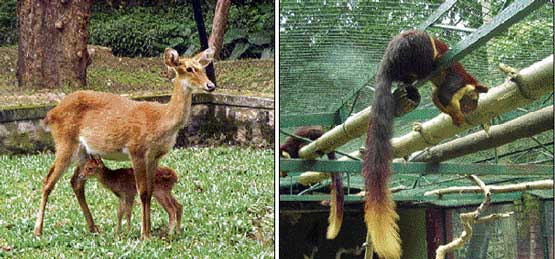Just born:  The Thammin deer with her fawn at the Bannerghatta Biological Park in Bangalore. The Malabar giant squirrel which gave birth recently. DH Photo