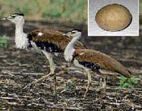 Endangered: The Great Indian Bustard near Bellary. (Inset) Bustard's egg. Photo/Dinesh Singhe