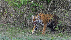 A tiger spotted at Nagarhole.Photo credit: Anand Patil