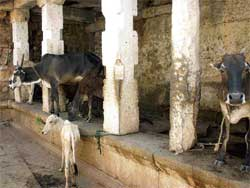 APATHY Lack of maintenance has meant that the Mallikarjuna temple is being used by villagers as a cattle-shed.