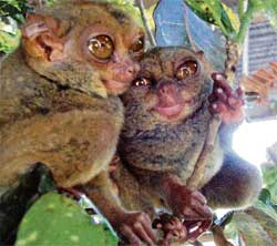 Crowd-puller: The Philippine government has officially allowed only five centres to house tarsiers for display. Photo by the author