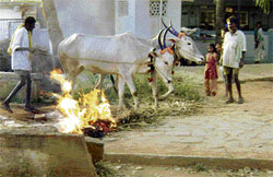 Trial by fire? Farmers take a cattle pair through fire, a ritual observed during Sankranti, in Yaluvahalli, Chikkaballapur taluk. DH photo