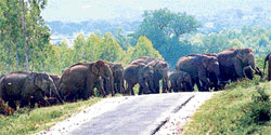 CROSSING OVER: A few decades ago, pachyderms did not face too many problems as human activities in forests were not as high as they are now. File photo