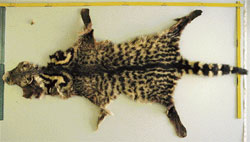 Rare species: A museum skin of  Malabar civet showing the prominent neck bands, dark crest along the back,  incomplete tail bands and the black  tail-tip. (Photo by the author). The Indian civet (see top right) on the other hand, has complete tail bands and whitish  tail-tip. (Photo courtesy: Kalyan Varma)