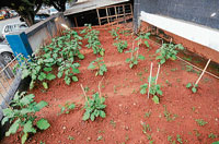The vegetables grown outside State Bank of India's Mangalore branch. DH photos/Chandrahas Kotekar