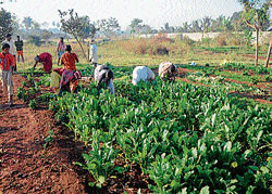 Women collect Raddish grown on encroached land, even as officials claimed the area, in Mysore on Thursday. DH PHoto