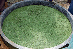 A farm of ferns: Farmers of Nicchanabandahalli and Medimakalahalli have grown animal feed from the moss, Azolla as part of organic  farming. DH photos