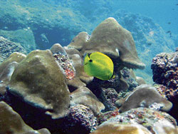 dangerous depths: A butterfly fish found near the coral reef of the Netrani island in Uttara Kannada district. dh photo