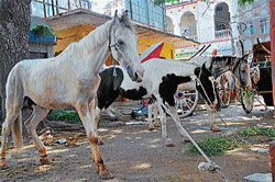 waiting: The kathewadi horses tethered at  the tonga stand in Agrahara in Mysore. dh photo