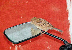 Time to reflect A sparrow peeks into a mirror. DH photo