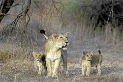 PRIDE OF THE JUNGLE A lioness and her two cubs.Photos courtesy: Manoj Dholakia