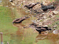 Parched throats: Birds try to quench their thirst in a pond as summer heat is drying up water bodies. DH Photo