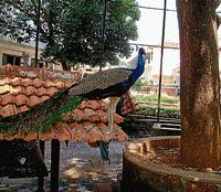 Peacock at the temple. (Below) A view of Brindavan outside the temple. DH Photos/Author