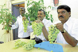 Bunched-up trouble: Farmers show grapes and tomato plants harmed by the use of gibberellic acid at a press conference in Chikkaballapur recently. Karnataka Milk Federation Director K V Nagaraj is also seen. DH photo