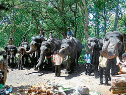 The elephants of Dubare elephant camp praying to the Ammale Devi at Dubare forest.  DH PHOTOS