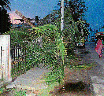 A coconut tree crashed when rains accompanied with heavy wind lashed Mandya on Tuesday. Luckily, nobody was injured. DH PHOTO